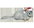 Chinchilla adulto - pelaje 117