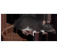 Rata gris adulto - pelaje 1340000005