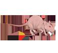 Rata gris adulto - pelaje 1340000006