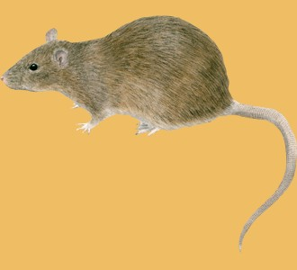 Acoger a un roedor de especie rata gris