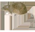 Rata gris - pelaje 52