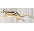 Ardilla de Siberia adulto - pelaje 39