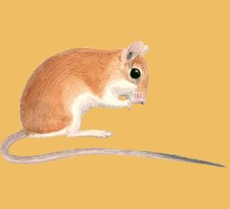 Acoger a un roedor de especie gerbillo