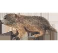 Marmota  bebé - pelaje 69