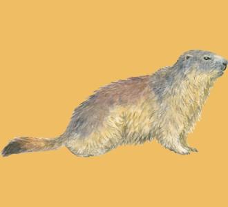 Acoger a un roedor de especie marmota