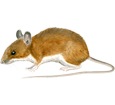 Ratón de campo  adulto - pelaje 17