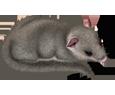Lirón adulto - pelaje 52