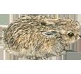 Conejo  bebé - pelaje 52