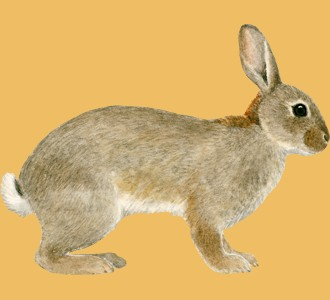 Acoger a un roedor de especie conejo