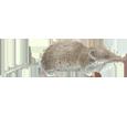 Musaraña adulto - pelaje 52
