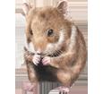 Hamster dorado bebé - pelaje 39