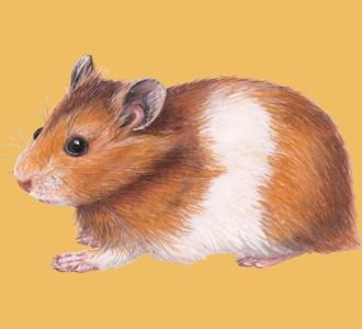 Acoger a un roedor de especie hamster dorado