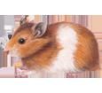 Hamster dorado adulto - pelaje 39