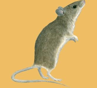 Acoger a un roedor de especie ratón