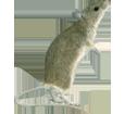 Ratón  adulto - pelaje 52