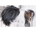 Conejillo de Indias peruano adulto - pelaje 65